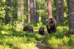 Família do urso de Brown na floresta finlandesa Foto de Stock Royalty Free