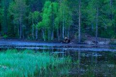 Família do urso de Brown, na região de Kuusamo Imagens de Stock
