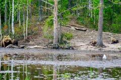 Família do urso de Brown, na região de Kuusamo Imagem de Stock