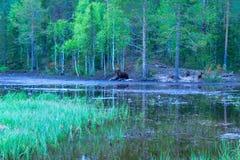 Família do urso de Brown, na região de Kuusamo Foto de Stock Royalty Free