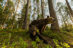 Família do urso de Brown no ângulo largo da floresta finlandesa Imagem de Stock Royalty Free