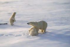 Família do urso polar no ártico Fotografia de Stock Royalty Free