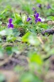 A família dos açafrões Flores da mola na terra Fotografia de Stock