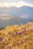 Família dos açafrões nas montanhas Imagens de Stock Royalty Free