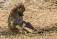 Família dos babuínos no arbusto, no parque de Kruger Fotos de Stock Royalty Free