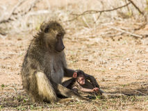 Família dos babuínos no arbusto, no parque de Kruger Imagens de Stock Royalty Free