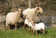 Família dos carneiros Foto de Stock Royalty Free