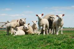 Família dos carneiros Fotografia de Stock Royalty Free