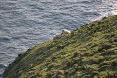 Família dos carneiros nos penhascos de Vestmannaeyjar foto de stock royalty free
