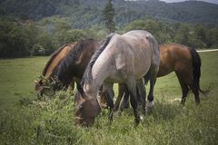 Família dos cavalos fotografia de stock