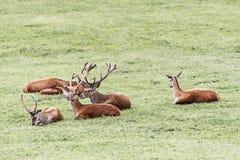 Família dos cervos Imagem de Stock