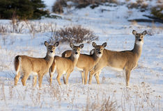 Família dos cervos da cauda branca Imagem de Stock Royalty Free