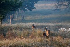 Família dos cervos de Chital no alvorecer na floresta na Índia do parque nacional de Kanha Imagem de Stock Royalty Free