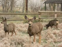 Família dos cervos de mula Fotos de Stock Royalty Free