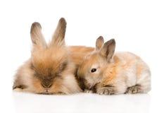 Família dos coelhos Isolado no fundo branco Fotografia de Stock Royalty Free