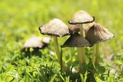 Família dos cogumelos na grama verde na manhã do início do verão Imagens de Stock Royalty Free