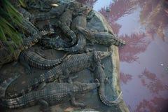 Família dos crocodilos no jardim zoológico na margem Fotografia de Stock Royalty Free
