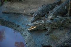 Família dos crocodilos no jardim zoológico na margem Fotografia de Stock