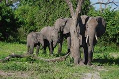 Família dos elefantes imagem de stock royalty free