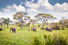 Família dos elefantes no pasto no savana africano tanzânia Imagem de Stock Royalty Free