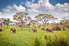Família dos elefantes no pasto no savana africano tanzânia Imagem de Stock