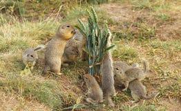 Família dos esquilos à terra Fotografia de Stock Royalty Free