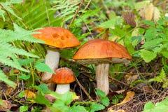 Família dos fungos Fotos de Stock Royalty Free