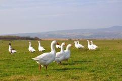 Família dos gansos imagem de stock