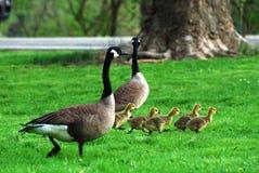 Família dos gansos Imagens de Stock Royalty Free