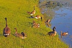 Família dos gansos Foto de Stock Royalty Free
