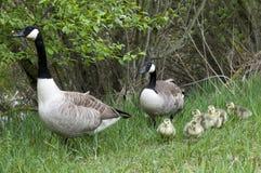 Família dos gansos fotografia de stock