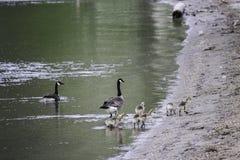 Família dos gansos Imagens de Stock