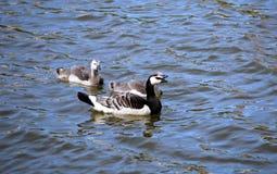 Família dos gansos com os dois de pintainhos cinzentos pequenos Fotografia de Stock