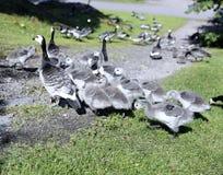 Família dos gansos com os muitos de pintainhos cinzentos pequenos Fotos de Stock Royalty Free