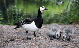 Família dos gansos com os pintainhos cinzentos pequenos Fotografia de Stock