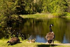 Família dos gansos de Canadá fotografia de stock
