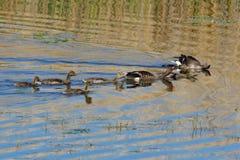 Família dos gansos de pato bravo europeu na mola Foto de Stock Royalty Free