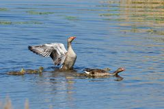 Família dos gansos de pato bravo europeu na mola fotos de stock