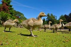 Família dos gansos na mola fotos de stock royalty free