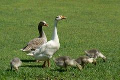 Família dos gansos no campo Imagem de Stock Royalty Free