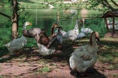 A família dos gansos pasta no banco de rio cercado pela grama verde, cultivo rural das aves aquáticas Ganso no fundo verde foto de stock
