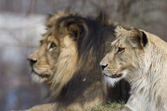 Família dos leões Imagens de Stock Royalty Free