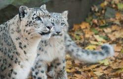 Família dos leopardos de neve Fotos de Stock