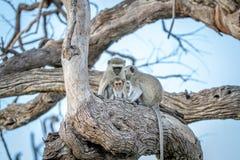 Família dos macacos de Vervet que sentam-se em uma árvore Fotografia de Stock Royalty Free