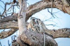 Família dos macacos de Vervet que sentam-se em uma árvore Fotos de Stock Royalty Free