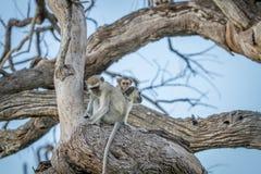 Família dos macacos de Vervet que sentam-se em uma árvore Fotos de Stock