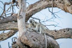 Família dos macacos de Vervet que sentam-se em uma árvore Foto de Stock Royalty Free