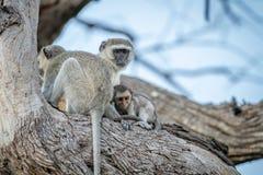 Família dos macacos de Vervet que sentam-se em uma árvore Imagem de Stock Royalty Free
