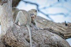 Família dos macacos de Vervet que sentam-se em uma árvore Foto de Stock
