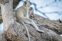Família dos macacos de Vervet que sentam-se em uma árvore Imagens de Stock